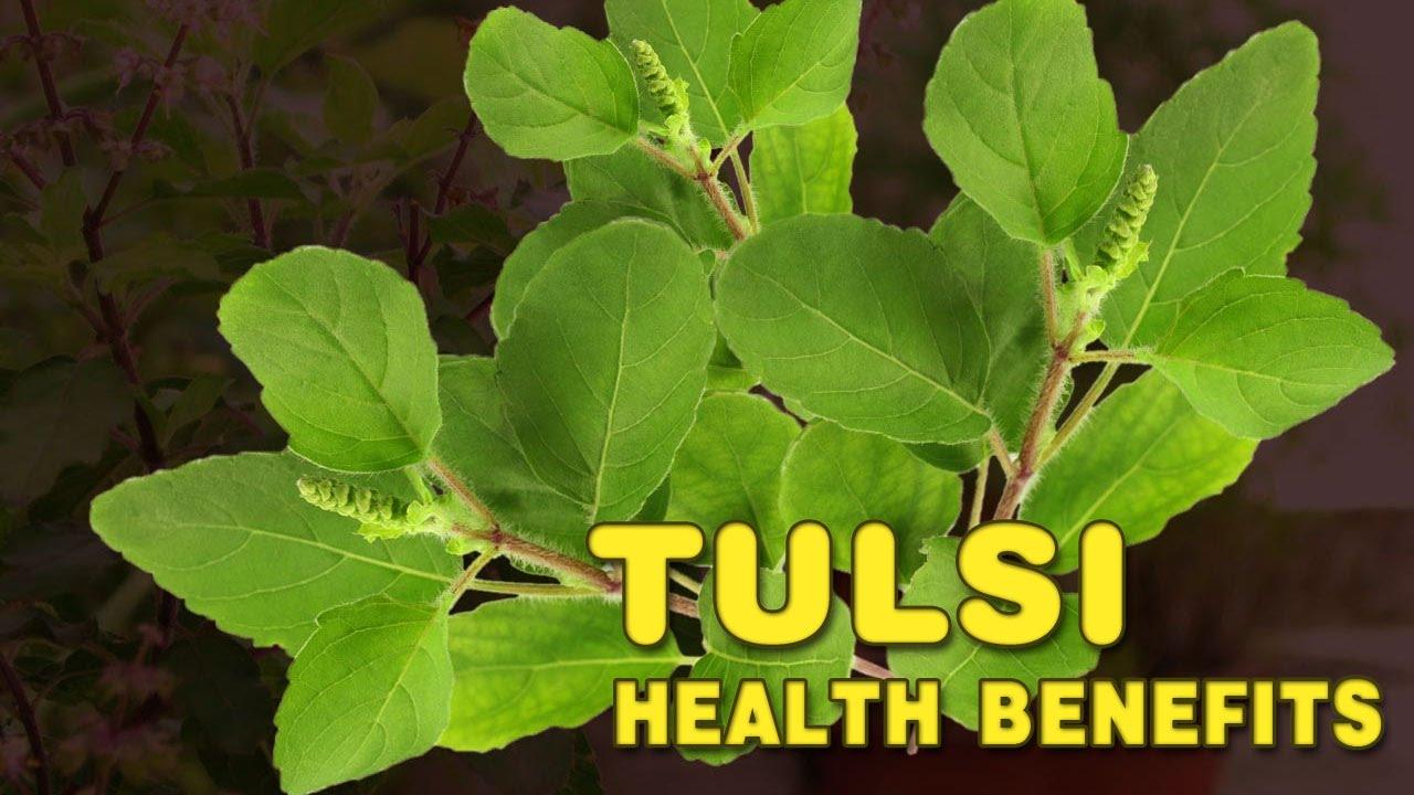 005 Essay Example Maxresdefault On Tulsi Archaicawful Plant In Hindi Marathi Kannada Full
