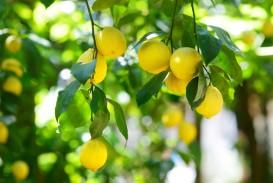 009 Essay Example Lemons Lemon Unusual Clot Reddit
