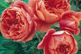 013 Rosa Summer Song Roza Essay Example About Rose Unbelievable Flower In Marathi Kannada Language