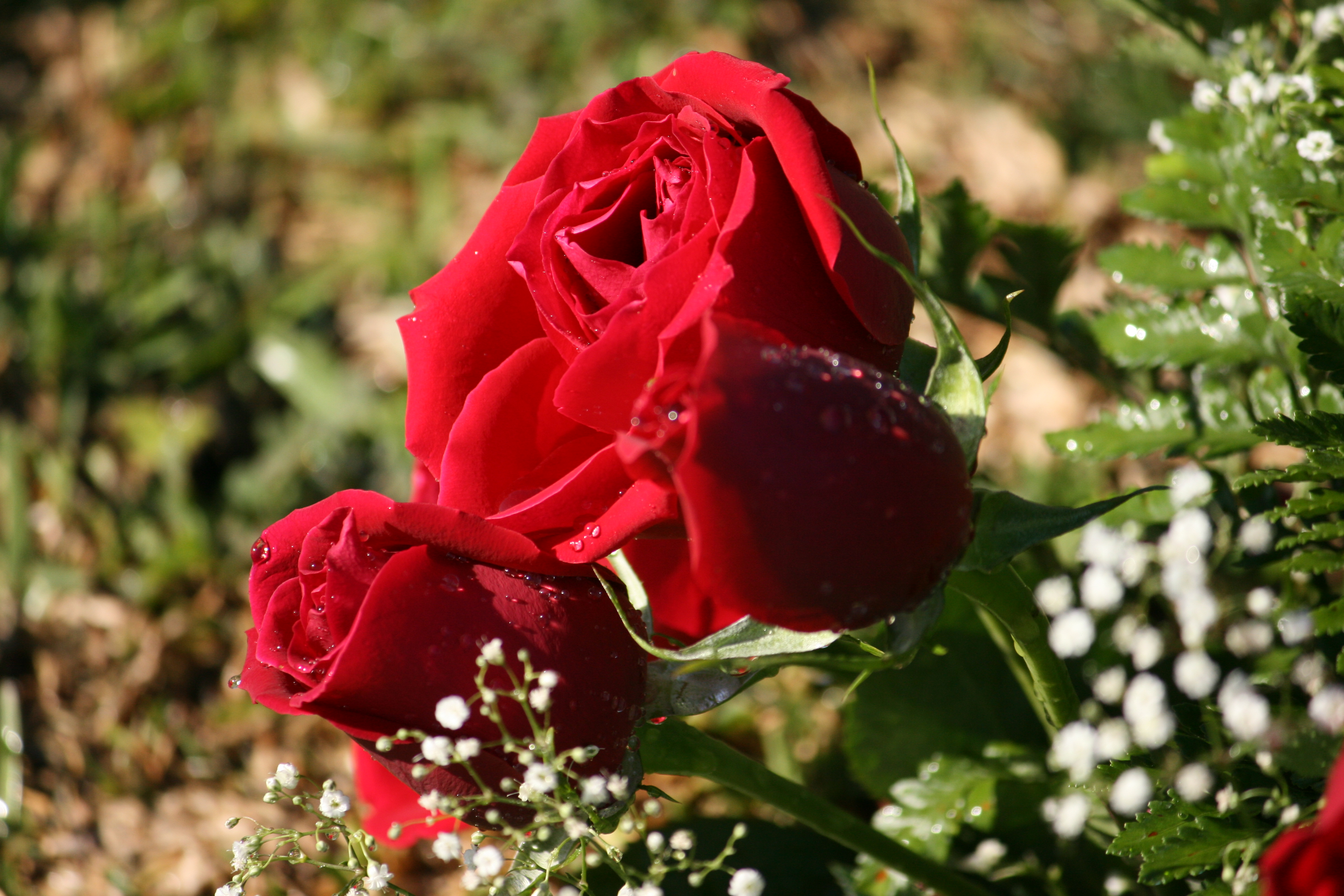 015 essay example red roses about rose ~ thatsnotus