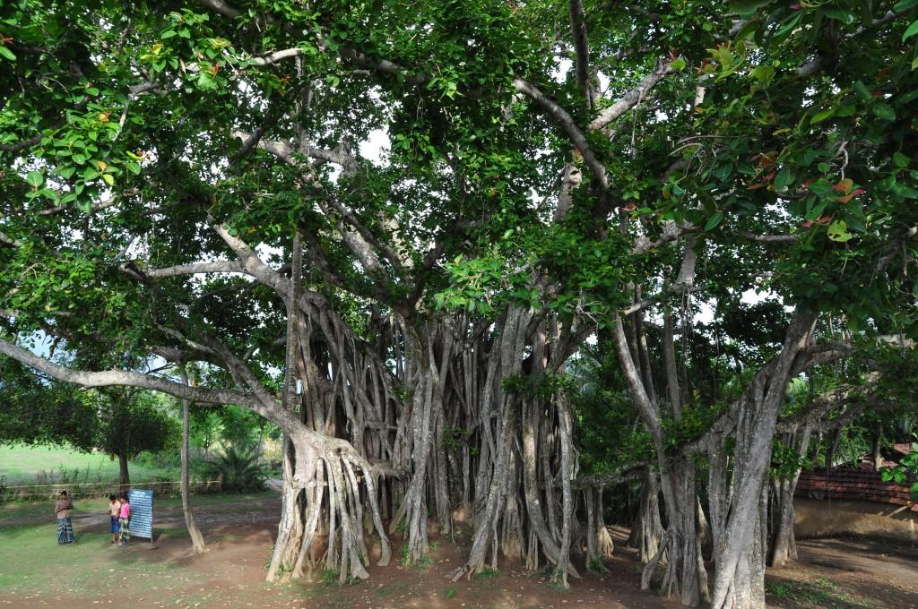 017 Banyan Tree Description Of Trees For Essays Essay Striking Large