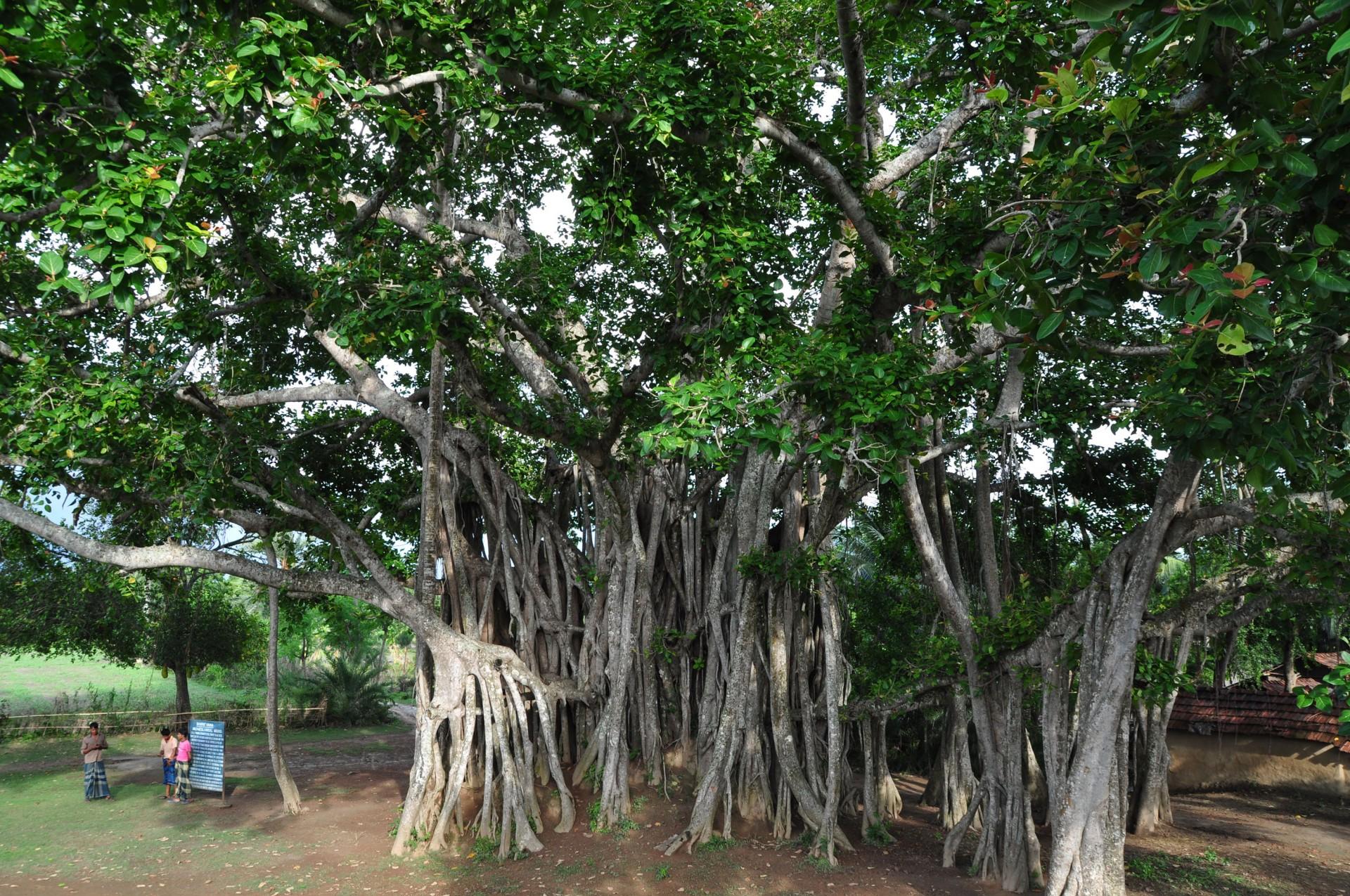 017 Banyan Tree Description Of Trees For Essays Essay Striking 1920
