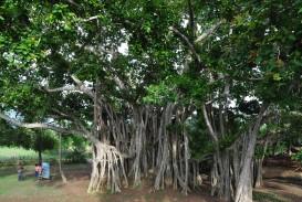 017 Banyan Tree Description Of Trees For Essays Essay Striking