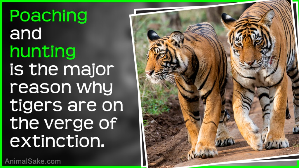 021 Essay On Tiger Example Astounding Shroff Hindi For Class 1 National Animal In Large