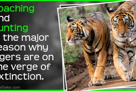 021 Essay On Tiger Example Astounding Shroff Hindi For Class 1 National Animal In