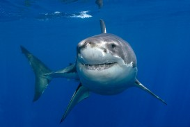 023 Great White Shark Wallpaper Essay Wonderful Essayshark Sign Up Introduction Topics
