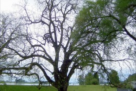 025 Description Of Trees For Essays Black Walnut Trees2 Roots Evil Ascending The Giants Wikimedia Commons Essay Striking