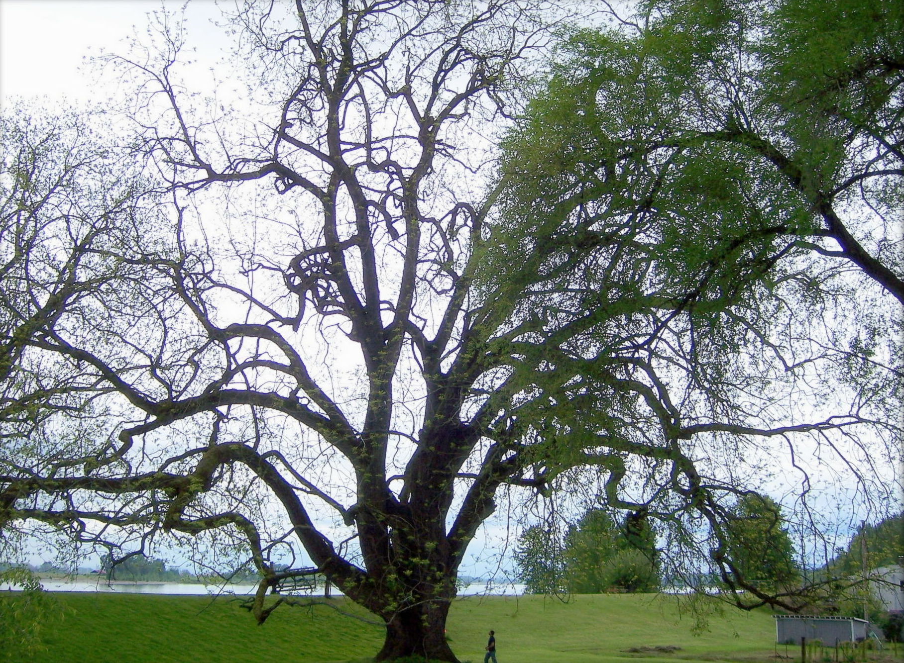 025 Description Of Trees For Essays Black Walnut Trees2 Roots Evil Ascending The Giants Wikimedia Commons Essay Striking Full